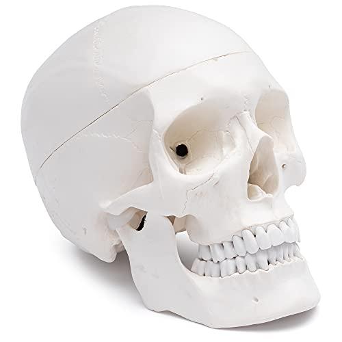 Cranstein Scientific A-210 Schädel - Modell für Anatomieunterricht, 3-teilig