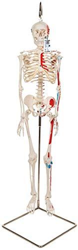 3B Scientific Menschliche Anatomie - Mini-Skelettmodell mit Muskelbemalung an Hängestativ +...