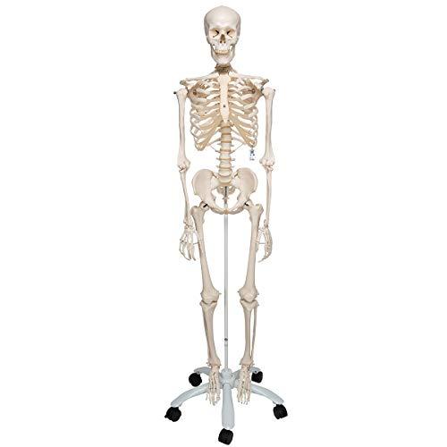 3B Scientific Anatomie, A10 Skelettmodell, klassisch – 3B Smart Anatomy