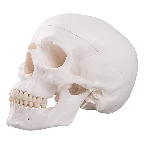 TKer Anatomisches Modell des menschlichen Schädels, abnehmbares medizinisches Modell 1: 1...