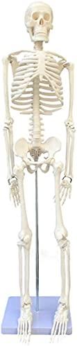 Anatomie Modell, Bildungsmodell medizinischer Standard 85cm Menschliches Skelettmodell, anatomisches...