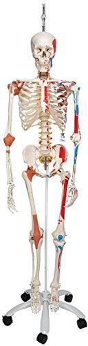 3B Scientific Menschliche Anatomie Skelett Sam -mit Muskeldarstellung, Bandscheibenvorfall,...