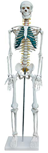 Anatomie Modell Skelett mit Nerven und Arterien Anatomy Skeleton Menschliches Skelett verkleinert 87...
