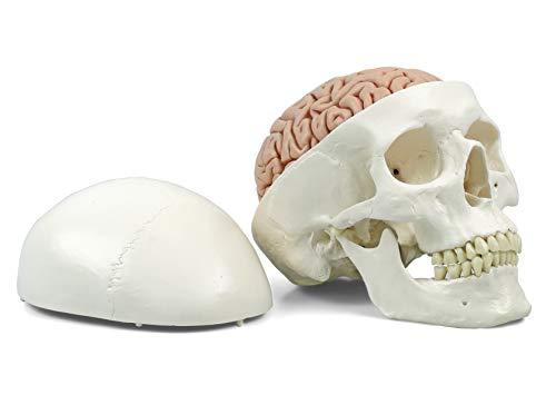 3B Scientific Menschliche Anatomie - A20/9 Klassik-Schädel mit Gehirn, 8-teilig + kostenloser...