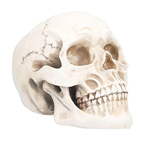 Tierschädel-Modell, menschliches Kopf-Schädel-Anatomisches Modell, gegliederter Unterkiefer, für...