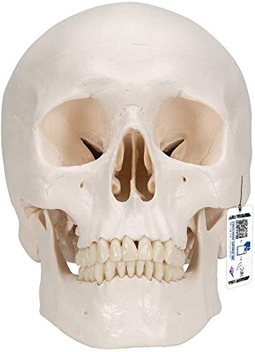 3B Scientific Menschliche Anatomie - Klassik-Schädel mit magnetischen Verbindungen, 3-teilig +...