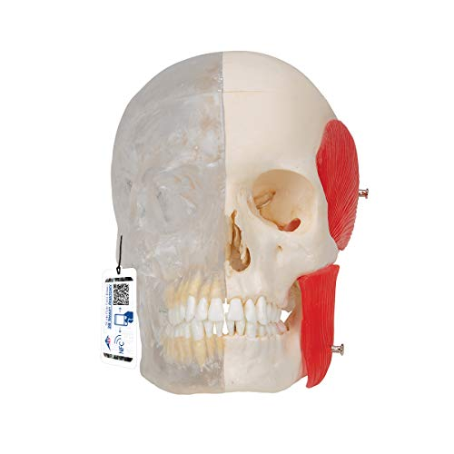 3B Scientific Menschliche Anatomie - BONElike ™ Schädel Modell mit transaprenter Schädelhälfte,...