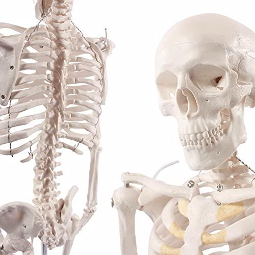 Cranstein A-117 Mini-Skelett Modell, 85cm - Anatomie-Modell als Lernmodell oder Lehrmittel...