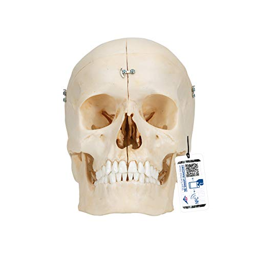 3B Scientific Menschliche Anatomie - BONElike ™ Knöchernes Schädelmodell, 6-teilig + kostenloser...