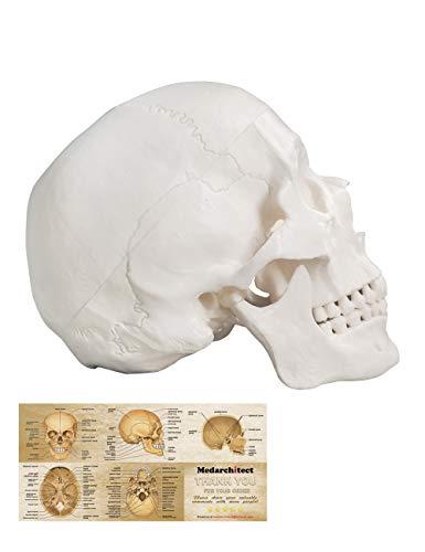 Menschliches Schädel-Modell, Lebensgröße, 3-teiliges anatomisches Modell mit abnehmbarer...