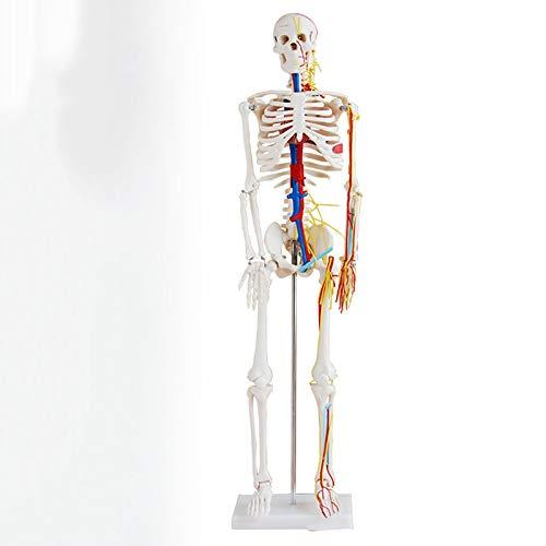 TKer 4D Anatomie-Modell des menschlichen Skeletts Kit, Knochenmodell, Für die medizinische...