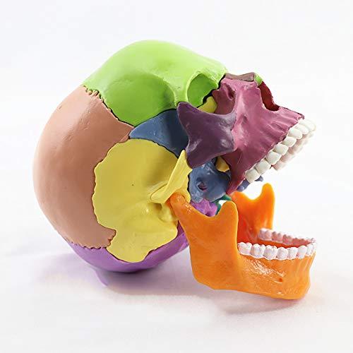 XIEJI LBXKE Schädel Modell Menschliche Anatomie Farbe 15 teilig, Realistisches und genaues Modell...