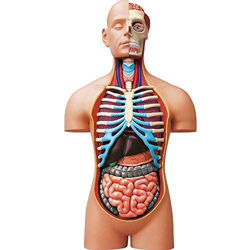 EXPLORA SCIENCES Explore 546080 Anatomie des menschlichen Torsos, realistisches Modell, 54 Teile, 40...