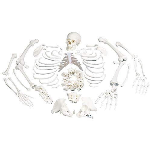 3B Scientific Menschliche Anatomie - Skelett, unmontiert, komplett mit 3-teiligem Schädel +...
