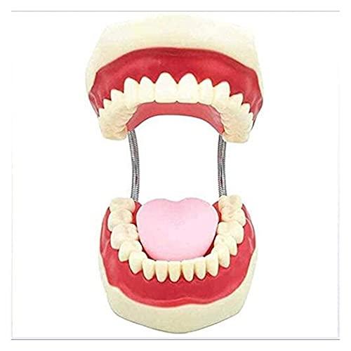 AMDHZ Zahnmedizinische Zähne Modell mit Zahnbürste, Bürstenzahnmodell Unterrichtswerkzeuge mit...