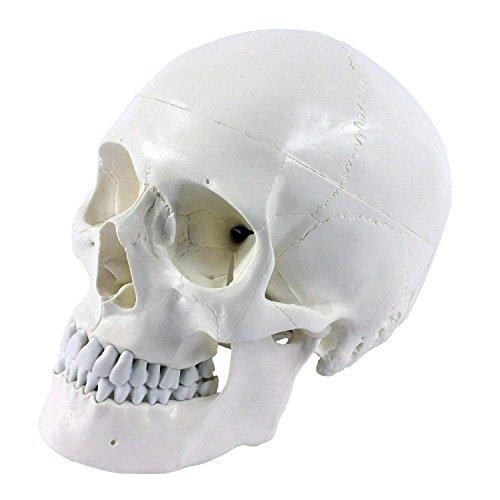 ERWEY Skädel Modell Schädel Skelett Modell für Anatomieunterricht Menschliche Anatomie(Schädel...