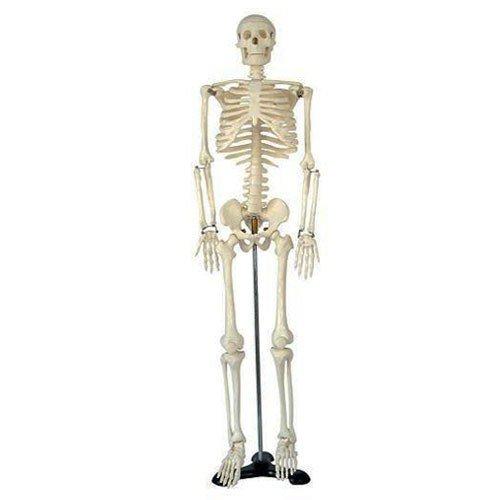 Menschliches Skelett 87cm Lernmodell