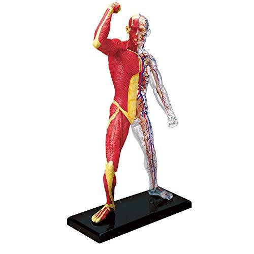 EXPLORA SCIENCES Explore Science Anatomie des menschlichen Skeletts und Muskeln, 546058,...
