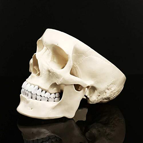 Crafts Schädel von menschlichem anatomischem Modell Medizin Schädel menschlichen anatomischen...