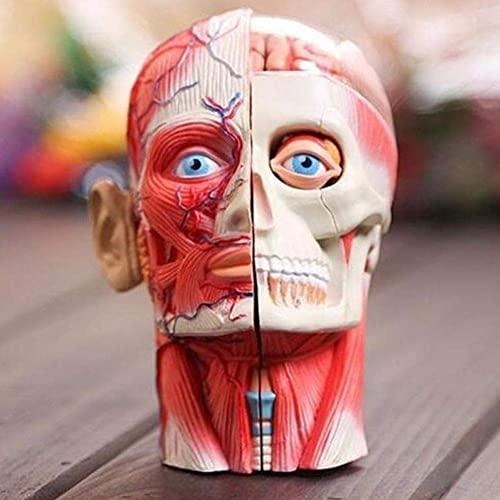 UIGJIOG Abnehmbarer Menschlicher Kopf Schädel Gehirn Anatomie Anatomisches Modell Puzzle Spielzeug...
