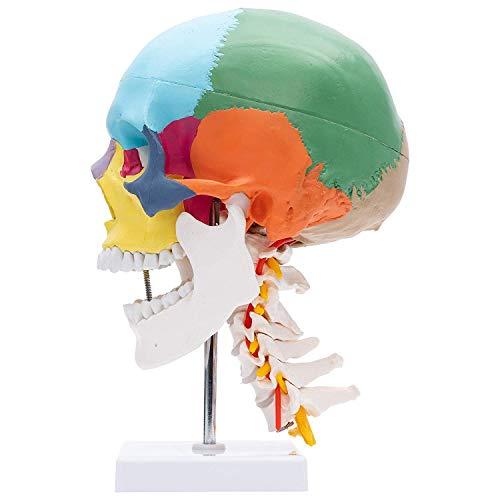 UIGJIOG Schädel-Modell Auf Halswirbelsäule, Für Studium, 4-Teilig