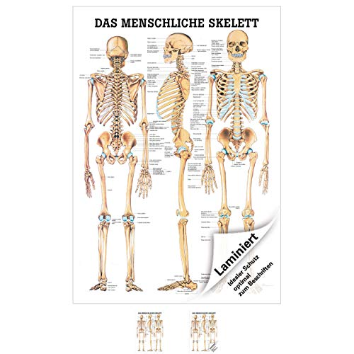 Sport-Tec Das menschliche Skelett Lehrtafel Anatomie 100x70 cm medizinische Lehrmittel