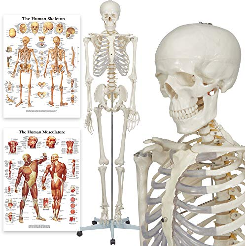 Elementary Anatomy Skelett - Buddy the Budget Skeleton - Menschliches Skelett Anatomisches Modell -...