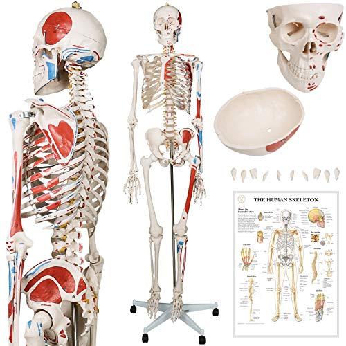 Jago® Menschliches Anatomie Skelett 181.5 cm - mit Muskelbemalungdetails, inkl. Schutzabdeckung,...