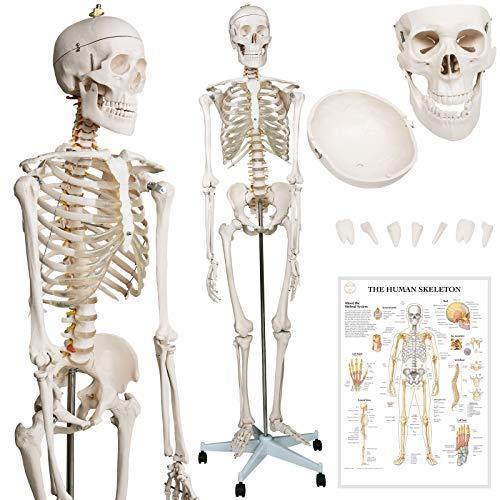 Jago® Menschliches Anatomie Skelett 181.5 cm - inkl. Schutzabdeckung, mit Ständer, Standfuss und...