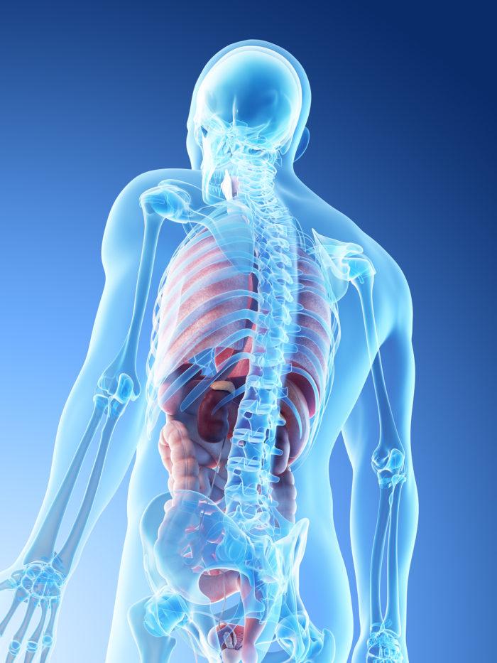 Welche Organe liegen links im Rücken? » Medizinspektrum