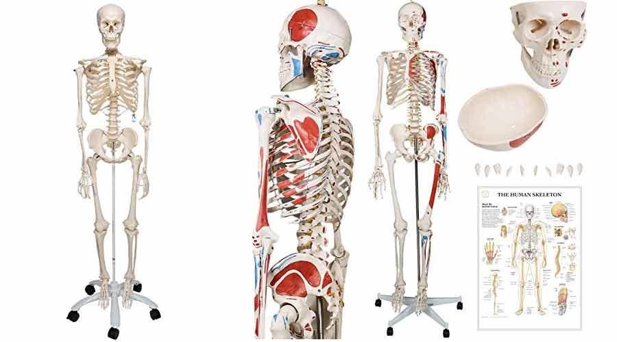 Menschliches Anatomie Skelett