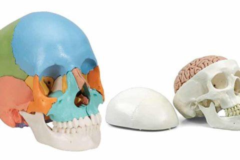 Schädel als Anatomie Modelle